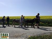 Foto für Eselwanderungen Waldviertel